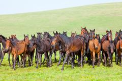 herd of horses on a summer pasture. caucasus, karachay-cherkessia - stock photo
