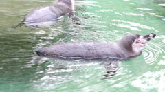 Humboldt penguin swimming Stock Footage