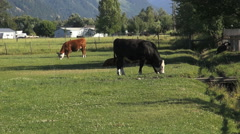 Oregon black and red cattle grazing Stock Footage