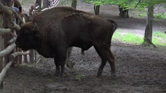 Wisent in captivity 4K Stock Footage