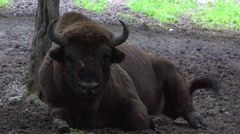 Wisent look Stock Footage