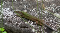 Lizard resting on the stone in nature, green grass Stock Footage