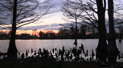 Tennessee Reelfoot Lake cypress with knees at sunset cx Stock Footage