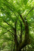 maple tree at springtime - stock photo