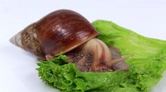 Burgundy snail eating a lettuce leaf Stock Footage