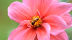 Bee collects honey on pink beautiful dahlias flower Stock Footage