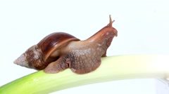 Burgundy snail eating a on the onion Stock Footage