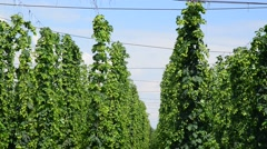 hop-garden befor the harvest,real time, - stock footage