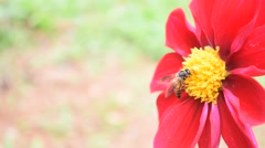 Bee collects honey on red dahlias flower - 11 Stock Footage