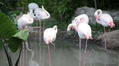 Solo pink flamingo bird (phoenicopterus) standing washing in water Stock Footage