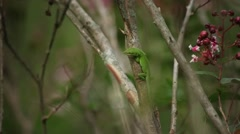 Green Carolina Anole Lizard Stock Footage
