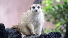Meerkat (Suricate) family, the small animals of africa Stock Footage