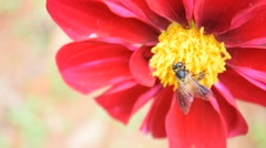 Bee collects honey on red dahlias flower - 6 Stock Footage