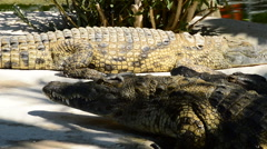 Crocodile walking in the river Stock Footage