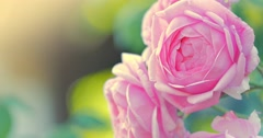Beautiful pink rose flowers growing in garden. Shallow DOF. 4K. Stock Footage