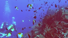 Scuba divers and yellow pyramid butterflyfish Stock Footage