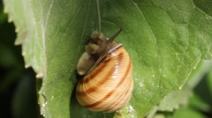 Snail walking on the leaf Stock Footage