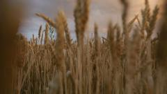 Wheat field at sunset Stock Footage