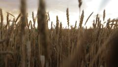 Wheat field at sunset - stock footage