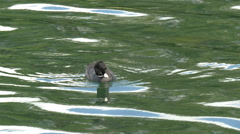 A small eurasian coot floating in the lake Stock Footage
