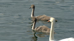 Thre long neck swans in the lake Stock Footage