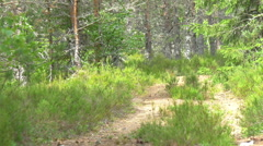 path trail between the tall pine trees Stock Footage