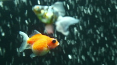 Fancy calico telescope goldfish swimming against air bubble curtain in home Stock Footage