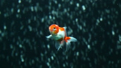 Red and white oranda goldfish against air bubble curtain in home aquarium, slow Stock Footage