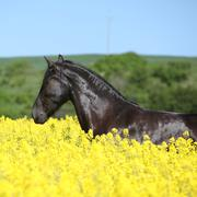 Amazing friesian horse running in colza field Stock Photos