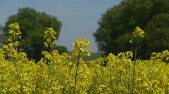 Scenic rapeseed plantation Stock Footage