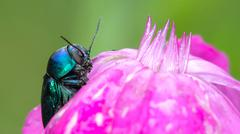 Blue beetle on pink flower Stock Photos