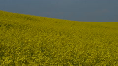Canola Field With Yellow Flowers Stock Footage