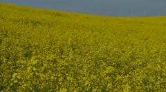 Flowering Canola Field Stock Footage