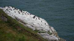 Coastal Birds - Cormorants Stock Footage