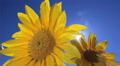 Flowering sunflowers on a blue sky background Footage