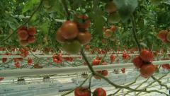Tomatoes seedlings in a greenhouse travelling 7 Stock Footage