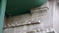 Kittiwakes nesting under the Tyne Bridge, Newcastle. Stock Footage