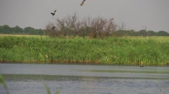 Two herons off wood and circling Lake Stock Footage