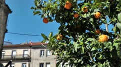 Spain Galicia City of Vigo 033 single orange tree in the middle of the town Stock Footage