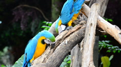Macaw parrots, Blue and yellow Macaw, HD Stock Footage