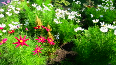 Big beautiful red garden flowers and daisies Stock Footage