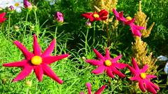 Big beautiful red garden flowers Stock Footage