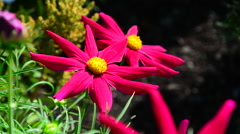 Big beautiful red garden flowers in the park Stock Footage