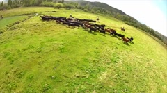 Stock Video Footage of Aerial Shot of Ranchers hearding Cattle 3