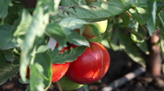 Big ripe delicious tomatoes in the sunlight, homegrown produce, garden - stock footage