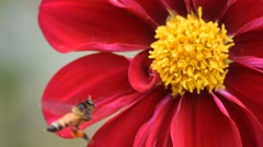 Bee collects honey on red dahlias flower - 13 Stock Footage