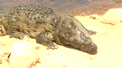American Crocodile Stock Footage