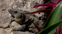 Iguana Lizard cocking neck animal behavior communication Stock Footage