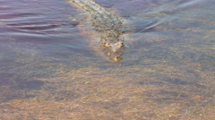 American Crocodile swimming in river in Mexico Stock Footage