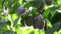 Purple fresh fruits, plum tree branch, ripe, delicious plums, harvest, autumn Stock Footage